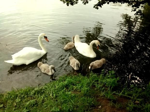 ¡Vimos una familia de cisnes! Mamá cisne, papá cisne y los cuatro patitos feos... ¡Pero qué lindos eran!