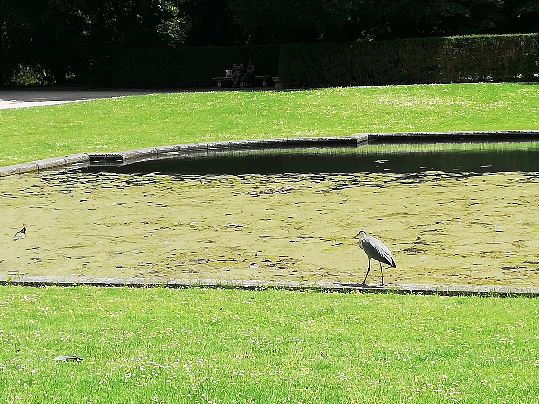 Garza en el estanque de los jardines de Benrath.