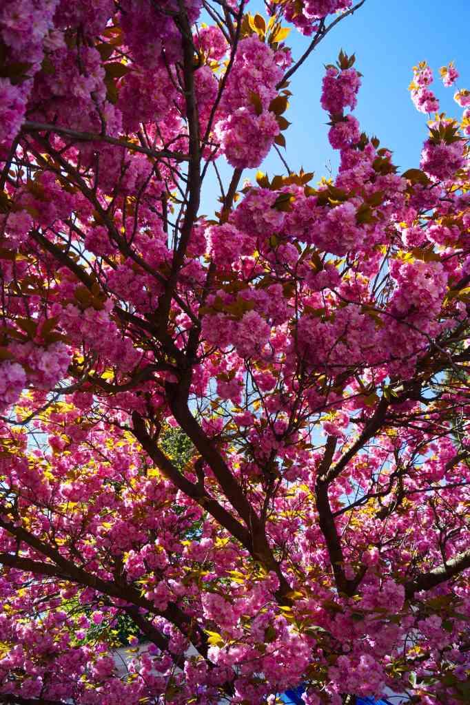 Árbol de flores rosas.